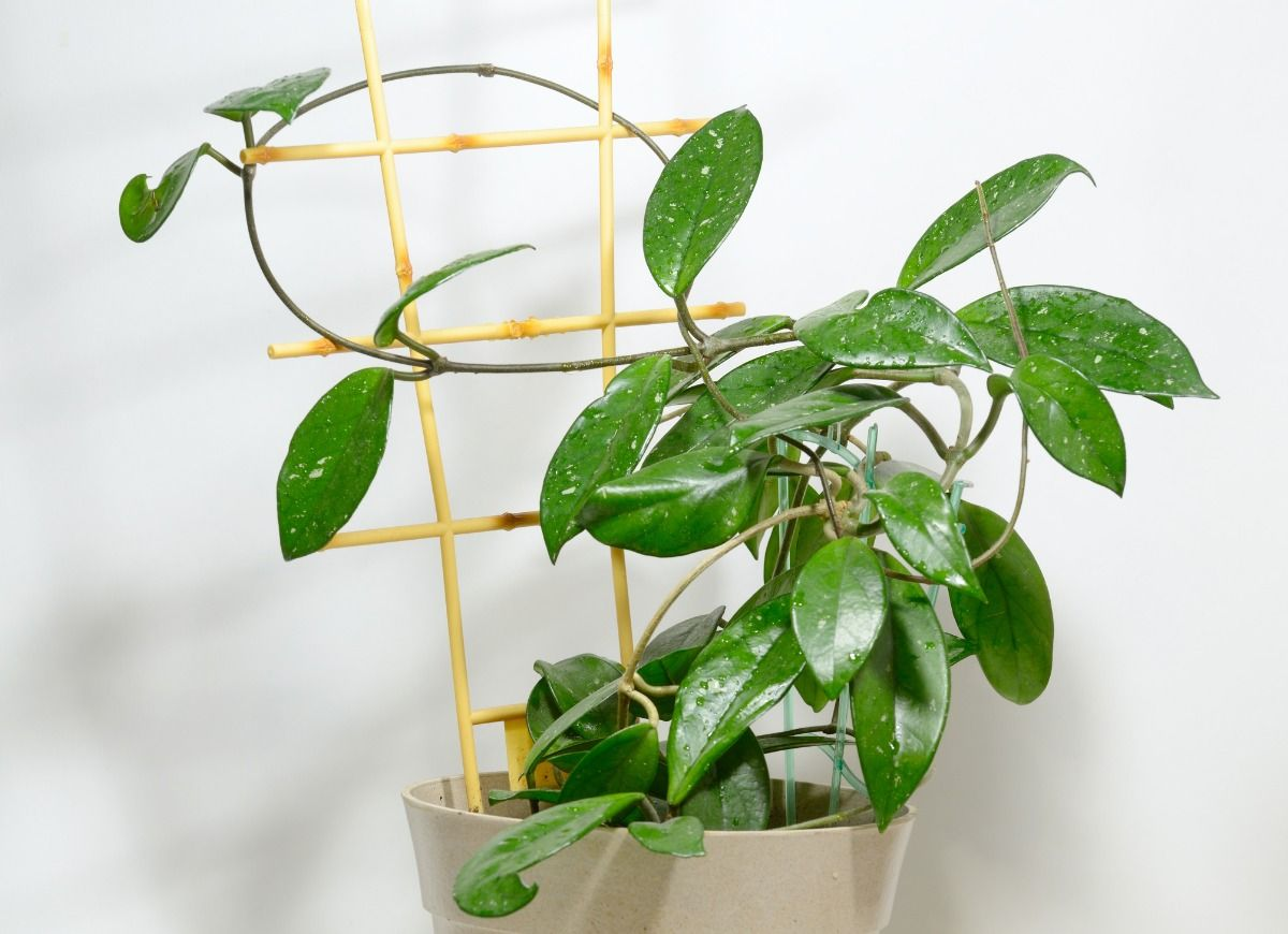 The 12 Hottest Houseplants For Your Home Office According To The Masses In 2021 House Plants Hoya Plants Plants