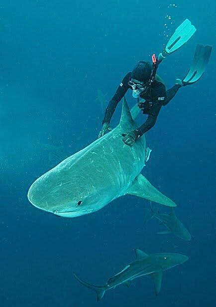 I wanna take a ride on a shark | Sharks <3 | Scuba diving, Scuba