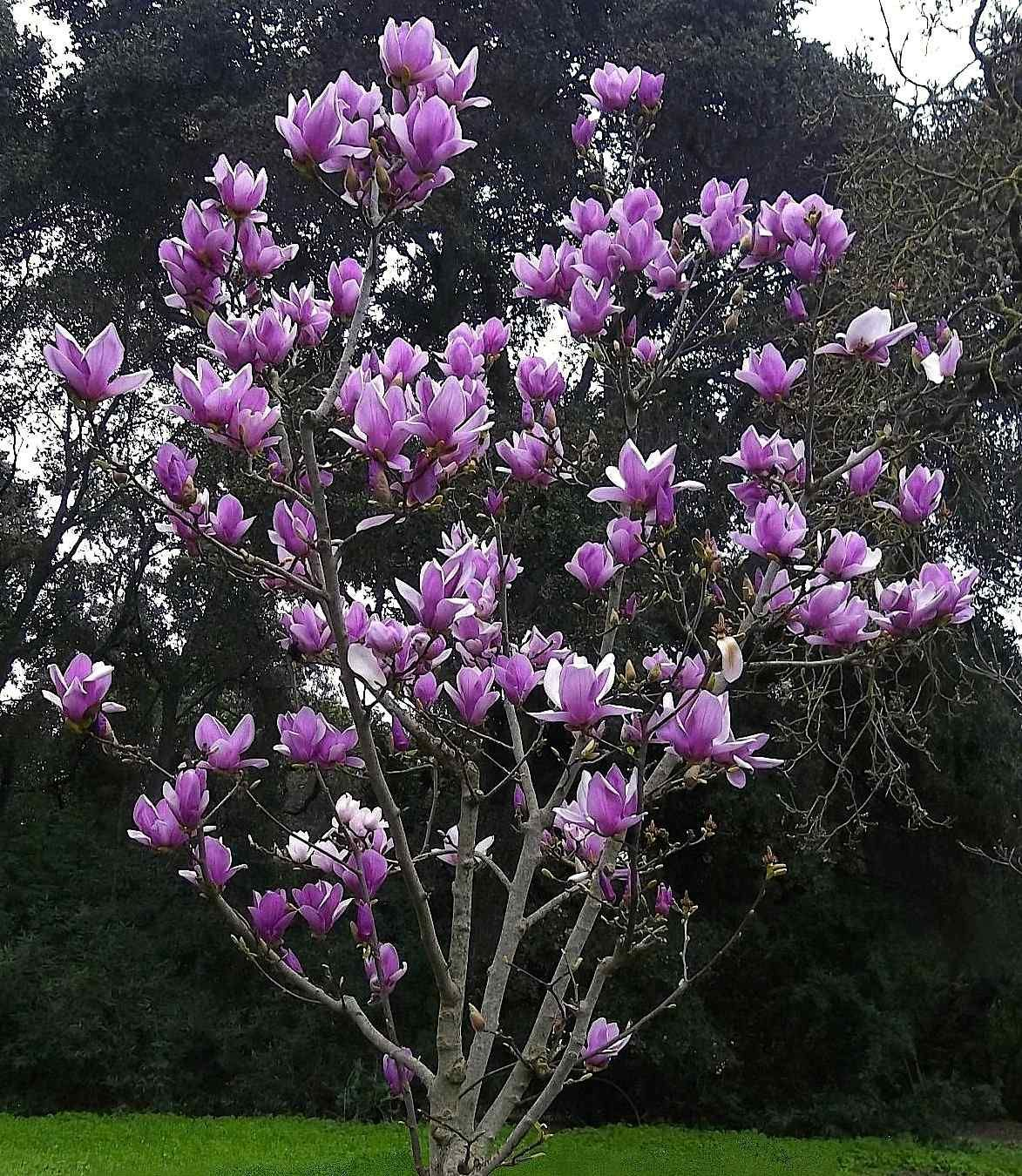 The Showy Magnolia Soulangiana Tree Commonly Called The Saucer Magnolia Tree Is One Of The Approximatel Magnolia Tree Landscaping Magnolia Trees Garden Trees