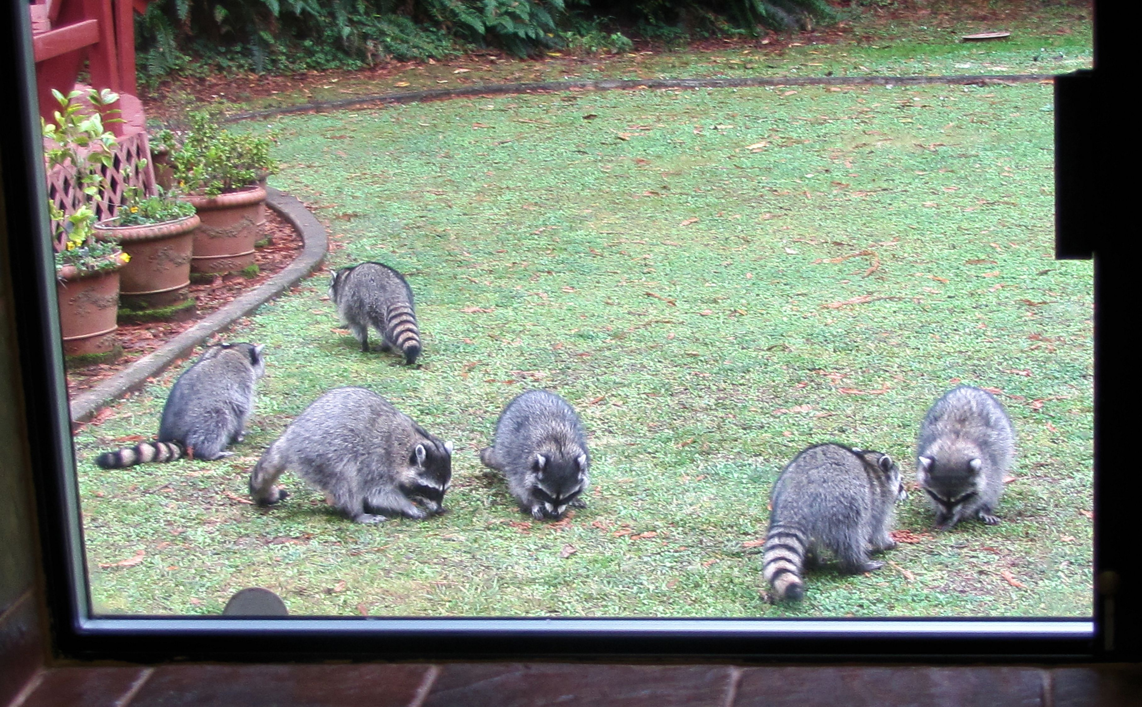 6 raccoons in the yard. Photo taken from kitchen window
