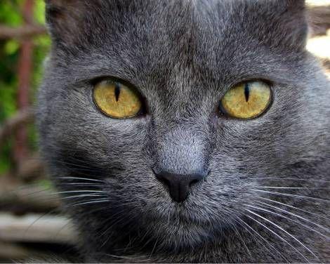 Widescreen Wallpaper Gray Cat Yellow Eyes Hd 1280x1024 Grey Cat Wallpaper Grey Cats Animals