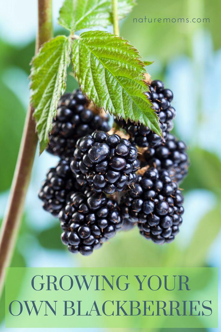 Growing Your Own Blackberries In