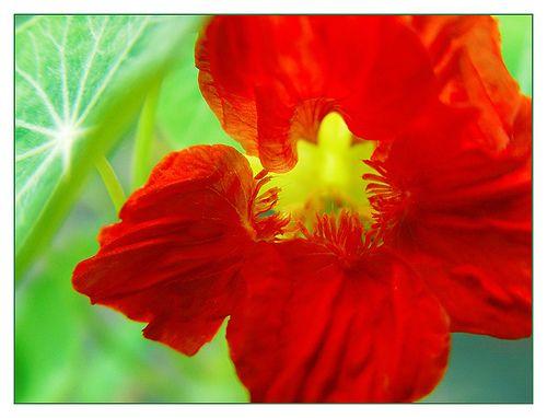 Red nasturtium flower garden gardening for dummies - How to plant a flower garden for dummies ...