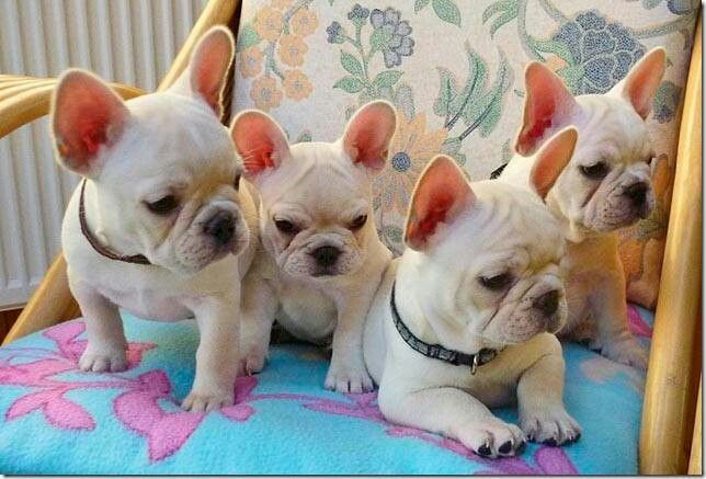 Miniature French Bulldog Puppies For Sale Uk Popular Breeds Of