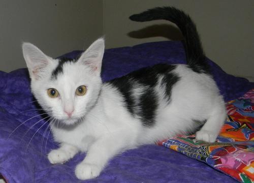 Dixie Sweetest Kitten Medium Hair Black And White Cat Houston Tx Black Hair Black And White Medium Hair Styles