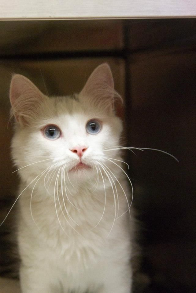 ***AVAILABLE FOR ADOPTION*** Brad Pitt is a sweet all white male cat who is very curious and playful. He can get vocal and has a ton of personality.