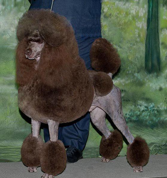 Huxtable The Poodle Toy Poodle Blog Parti Poodle Black Poodle