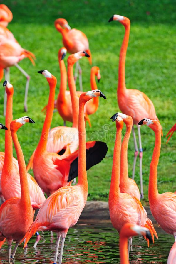 Flamingo in Miami zoo. In red color ,