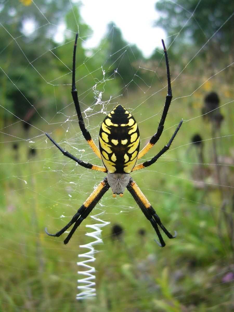 argiope aurantia the black and yellow garden spider i see these all the time at work since they love building their webs along guard rails and bridge - Garden Spider