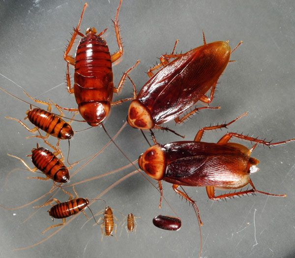 Como Acabar Con La Plaga De Cucarachas Chiquitas Familia Cucaracha En 2020 Matar Cucarachas Cucarachas Eliminar