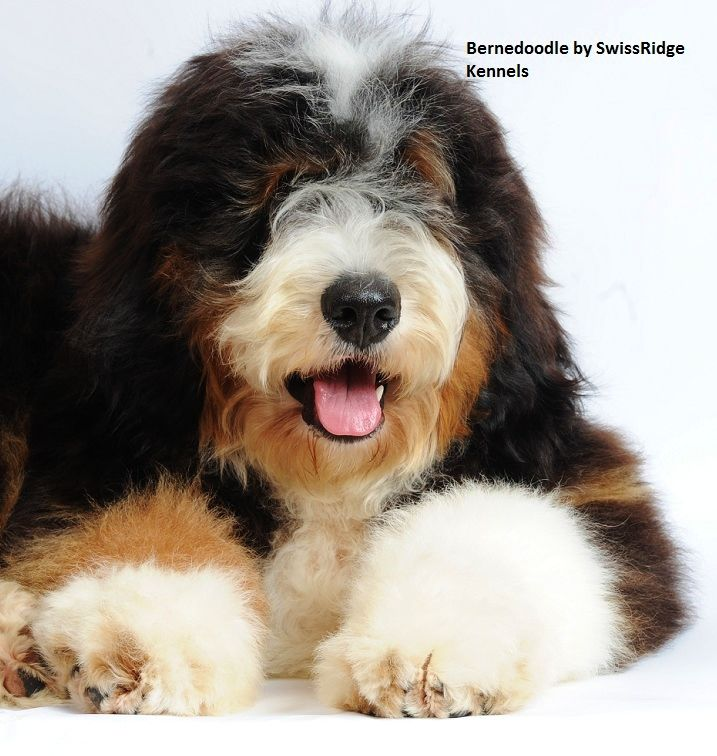 A Handsome Bernedoodle From Swissridge Kennelsthis Dog