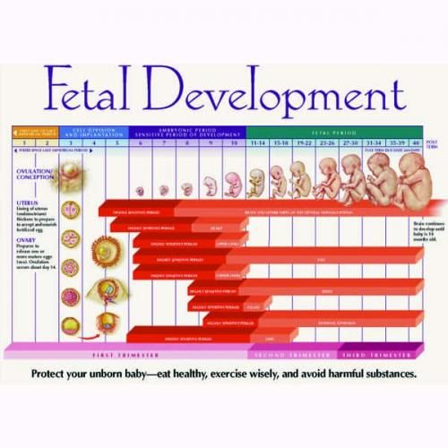 fetal development chart pdf Google Search – Baby Development Chart
