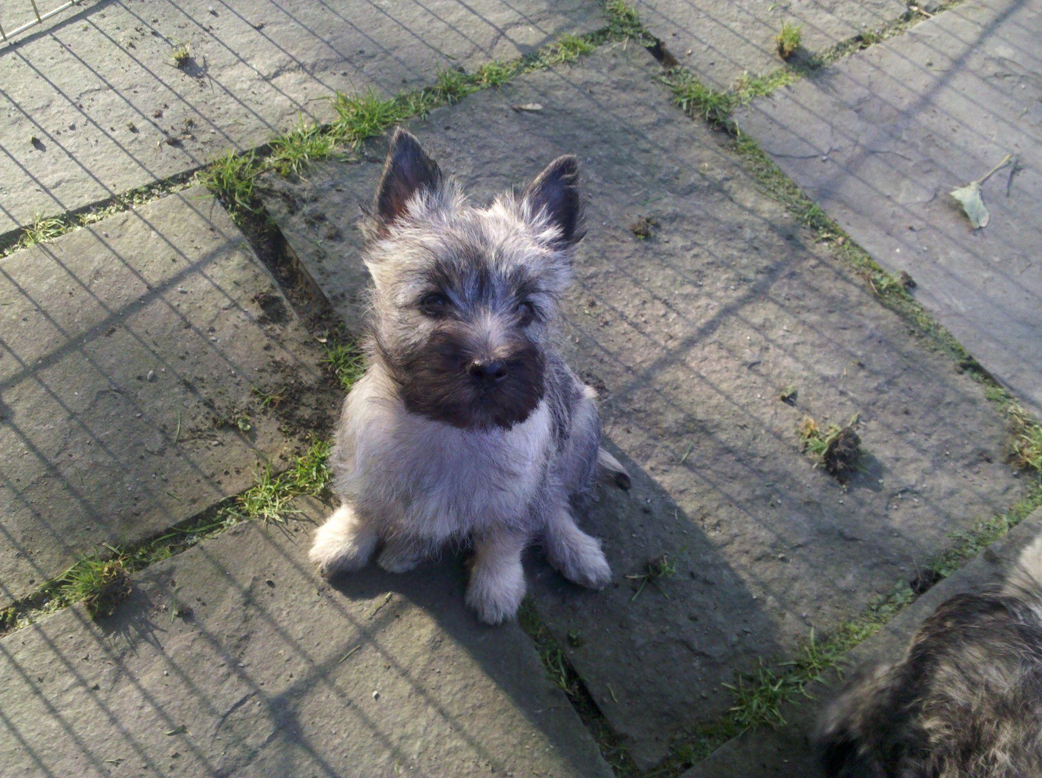 Pin By Monika Malkoun On Ct Cairn Terrier Puppies Cairn