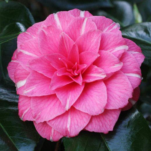 Camellia Japonica April Rose Indoor Flowering Plants Plants Camellia Flower