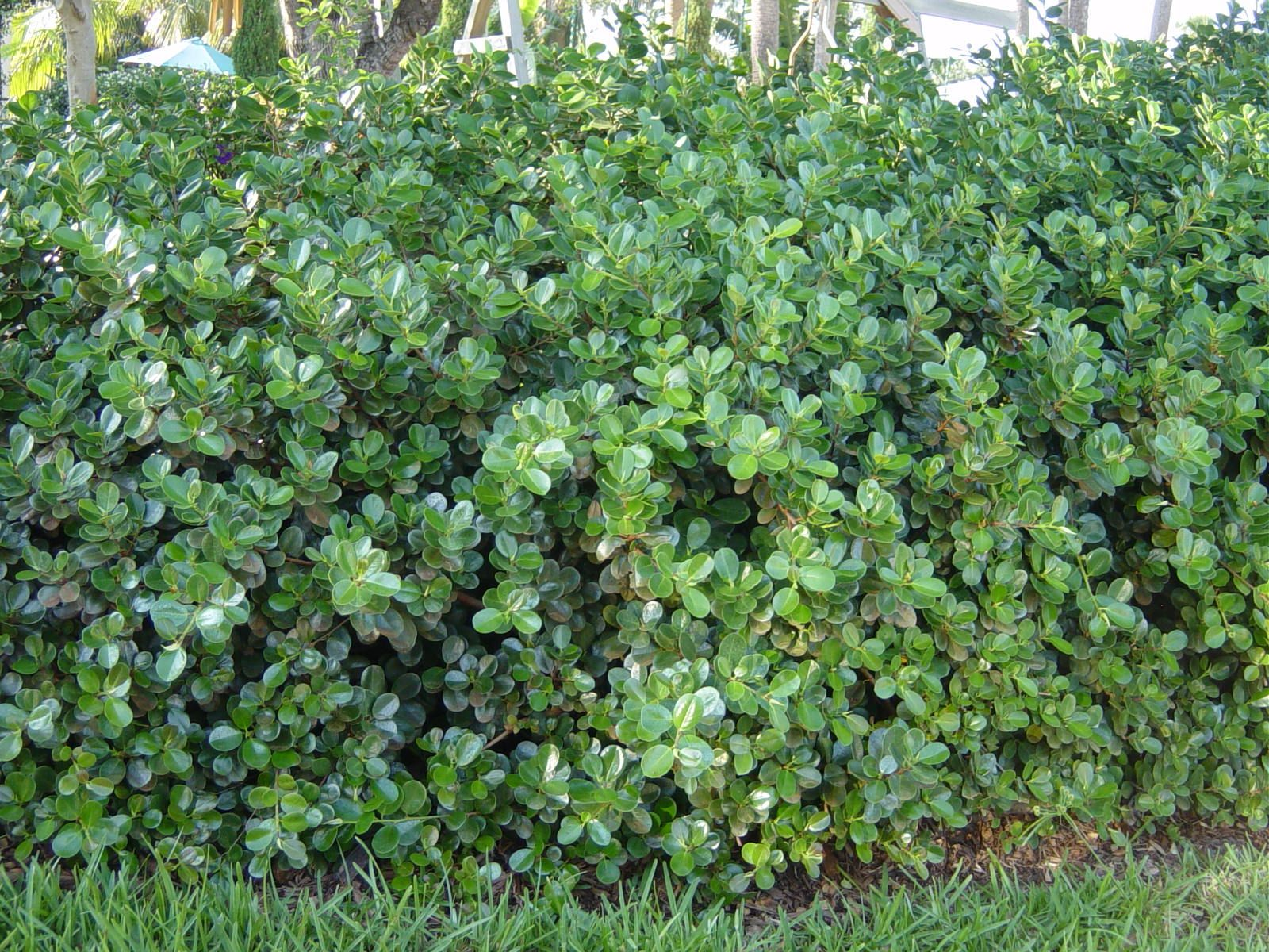 Ficus microcarpa green island ficus has become the most for Popular landscaping plants