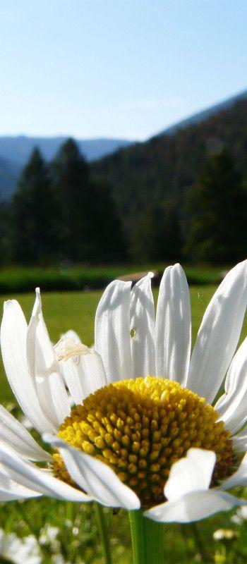 "Daisy:  ""Perfect white...like an April daisy on the grass.""   THE RAPE OF LUCRECE"