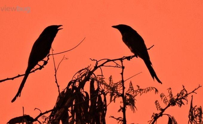 "Photo ""BlackDrongosilhouette"" by shreyansshah"