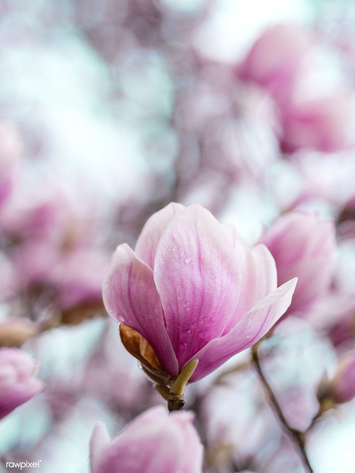 Closeup Of Pink Magnolia Flowers Free Image By Rawpixel Com Aaron Burden Magnolia Flower Flowers Macro Photography Flowers