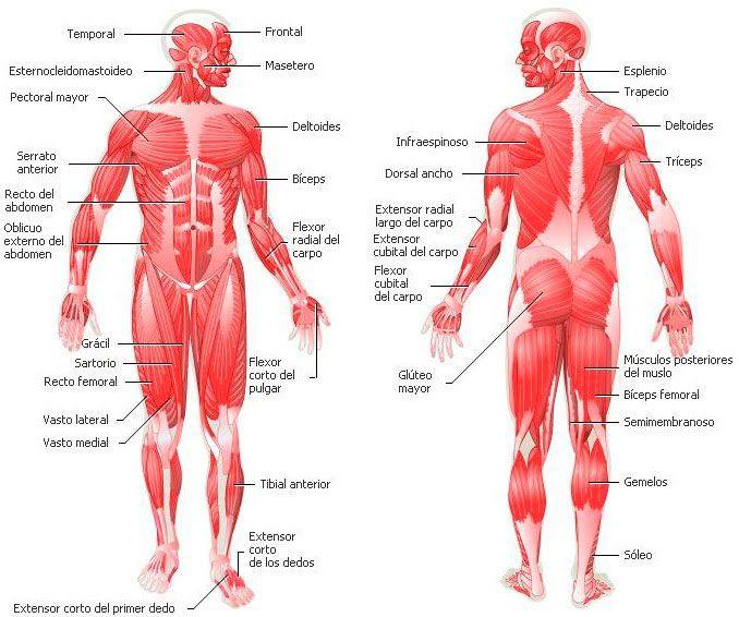 Partes del sistema muscular (músculos del cuerpo humano ...