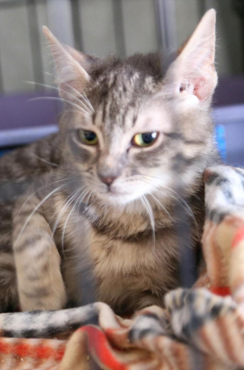 Adopt Princess Gabby on Pets, Adoption, Cats