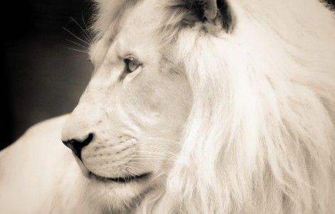 White Lion Wallpaper Hd