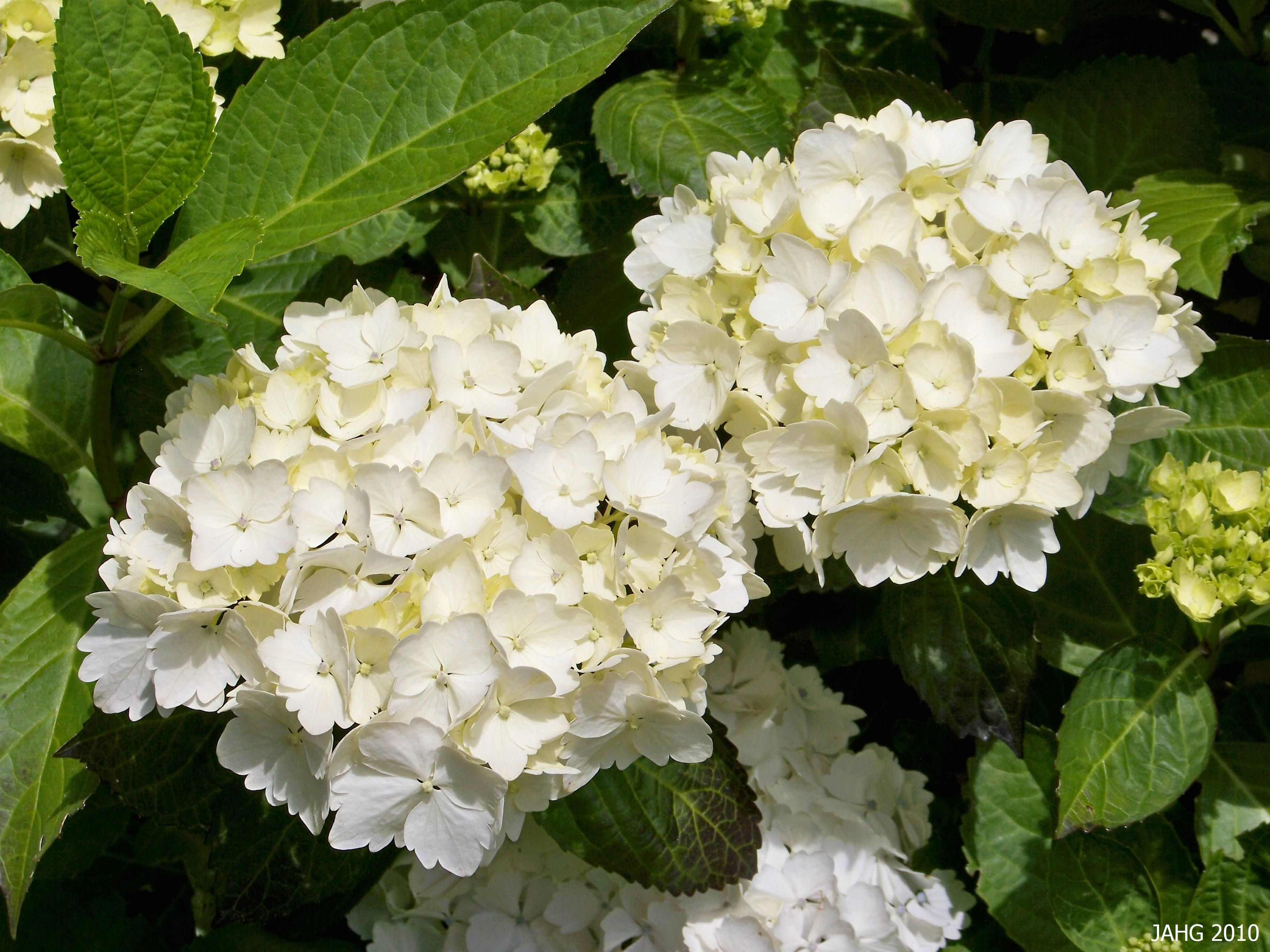 Lacecap Or Mophead I Can T Make Up My Mind Hydrangea Macrophylla Endless Summer Hydrangea Blushing Bride Hydrangea Care