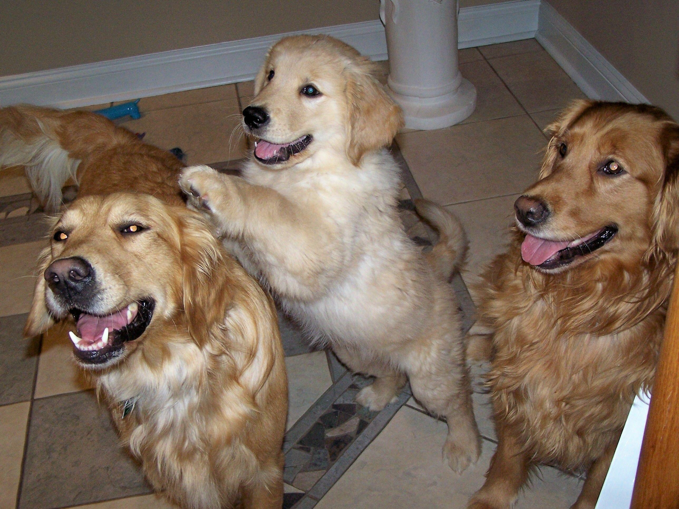a trio of goldens