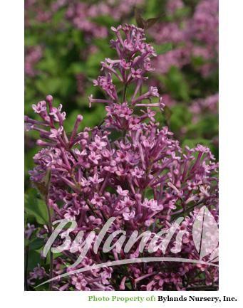 Bloomerang Dwarf Reblooming Lilac Syringa X Penda Ppaf Flieder Magnolien
