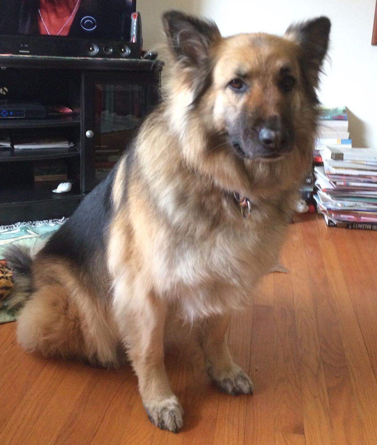 German Shepherd Dog dog for Adoption in Baltimore, MD. ADN