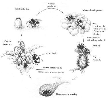Diagram Of Bumblebee Colony Lifecycle Bumble Bee Bumble Bee Nest Bee Keeping