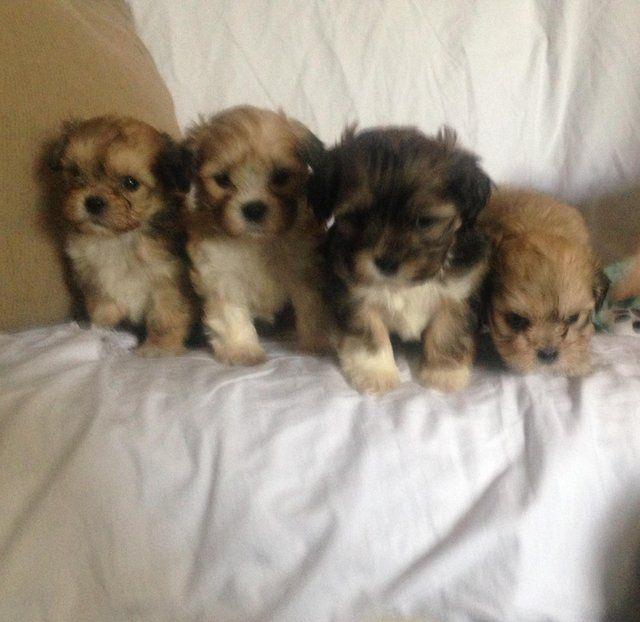Lhasa Apso Pedigree Puppies Bradford Puppies Dogs Lhasa Apso