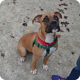 Wheaton, IL Boxer/American Bulldog Mix. Meet Moose, a