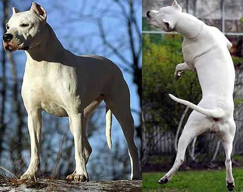 The Dogo Argentino Is A Pack Hunting Dog Bred For The Pursuit Of