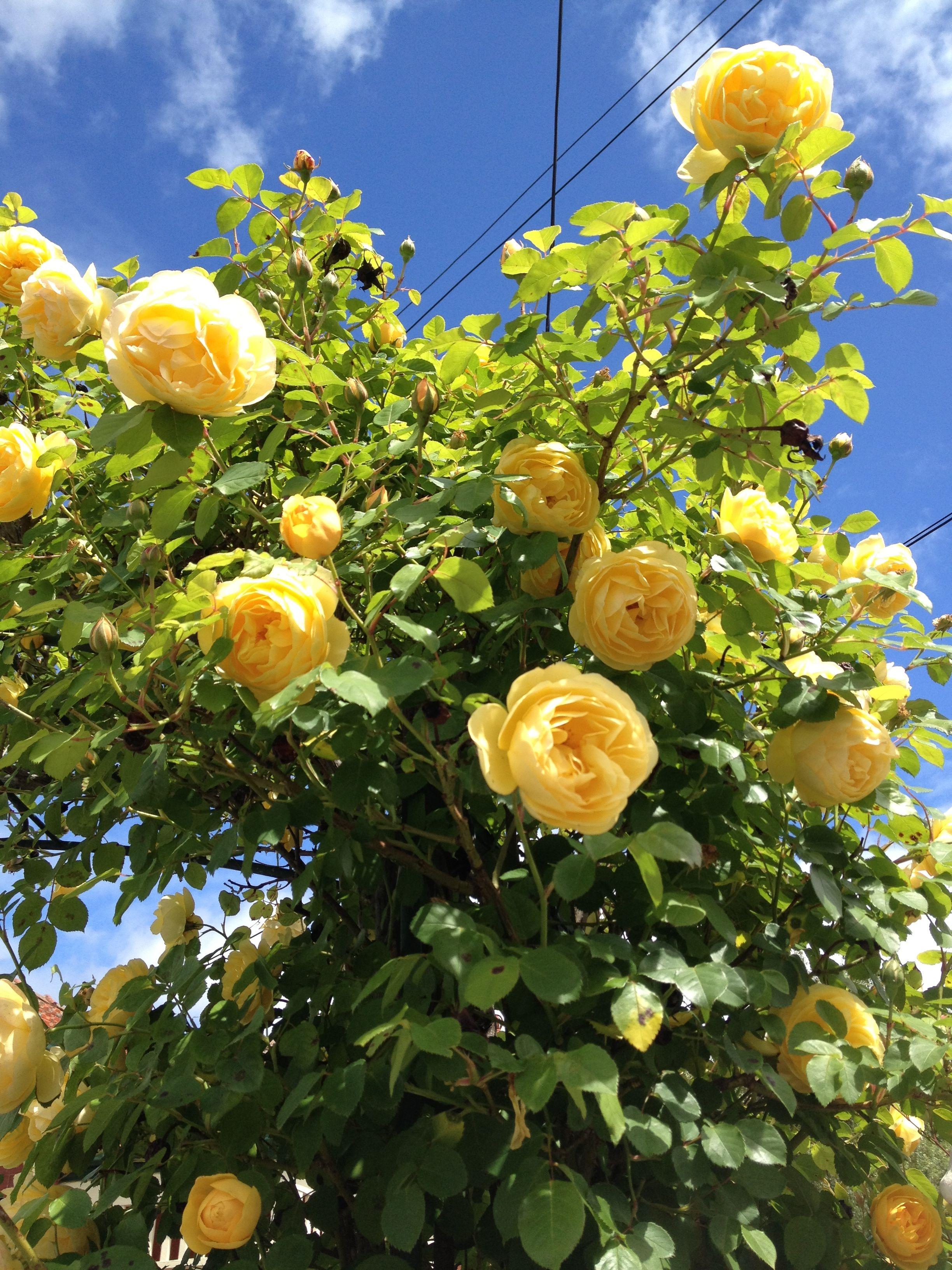 Yellow climbing rose Yellow climbing rose, Trees to