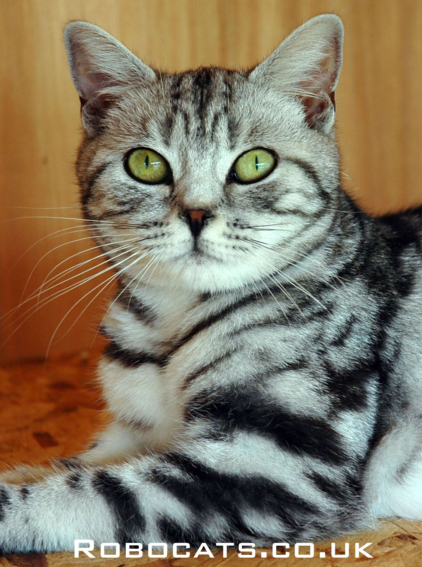 British Shorthair Silver Tabby Kitten In 2020 Silver Tabby Kitten Silver Tabby Cat Tabby Cat
