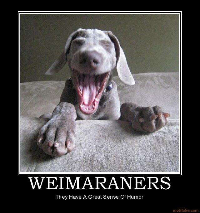 Weimaraners Dogs Laughing Dog Animals