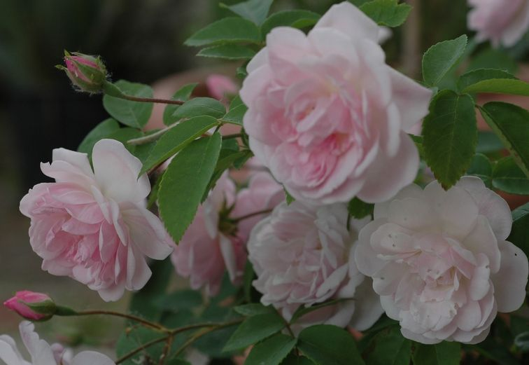 """"""" Belle Vichyssoise """" also known as """" Cornélie """" - Noisette rose - Light pink - Light fragrance - Robert & Moreau (France), 1858"""