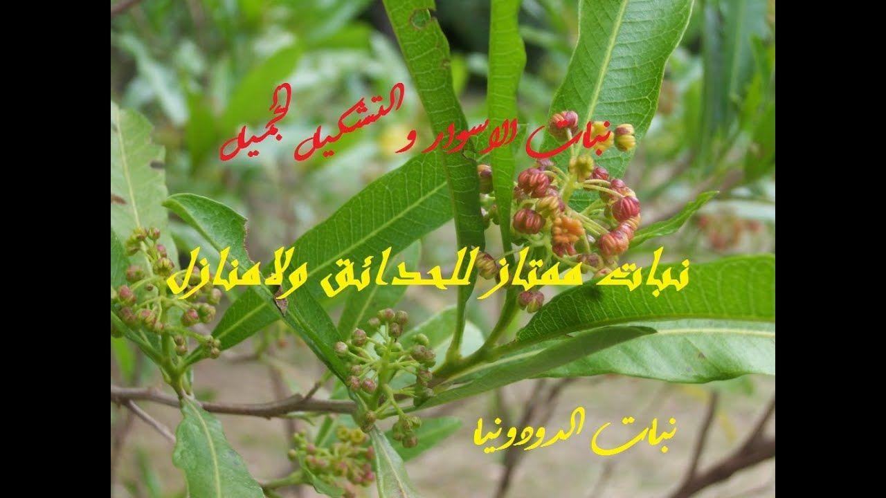 أقوى سور نباتى لمنزلك دودونيا Dodonaea حلقة 350 Plants Herbs