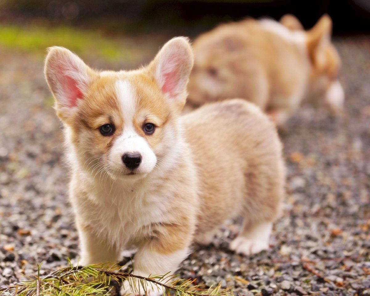 Corgi male model in training puppies dogs pets puppy dog cute