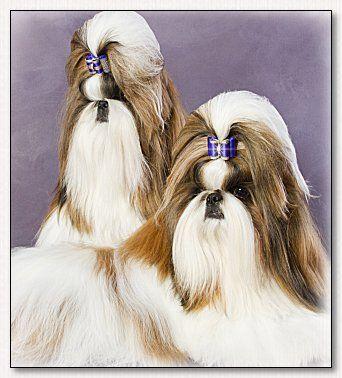 Black And White With Blue Bow Shihtzudog Dogs Shih Tzu Shih