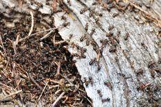 se d barrasser des fourmis naturellement et efficacement jardinage. Black Bedroom Furniture Sets. Home Design Ideas