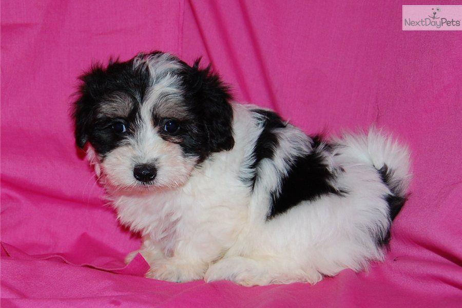 Meet Carley A Cute Coton De Tulear Puppy For Sale For 600
