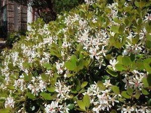 Indian Hawthorne Clara Backyard Landscape Plants