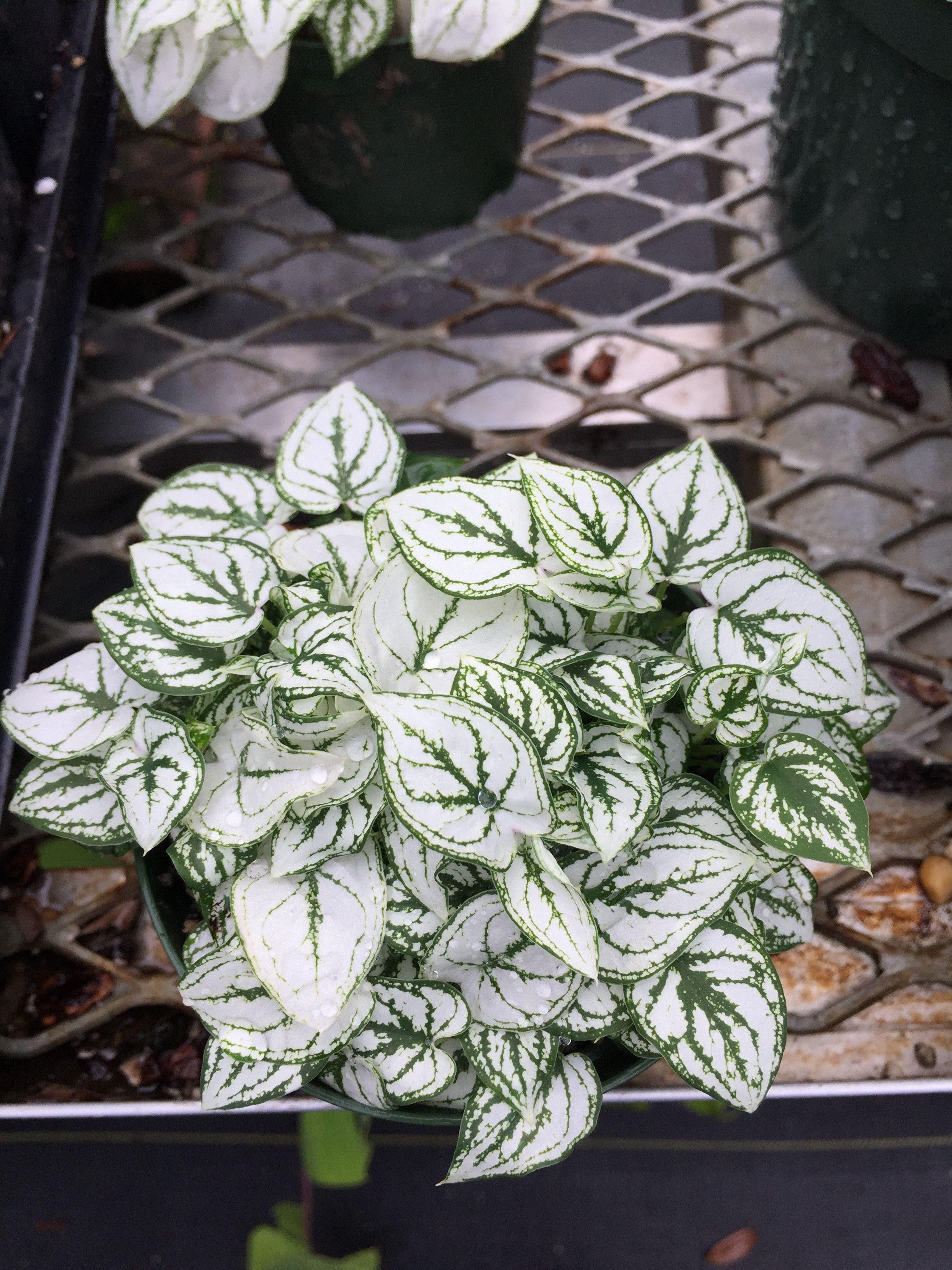 Caladium humboldtii dwarf white caladium Beautiful