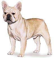 French Bull Dog Club Of America French Bulldog Breed Standard