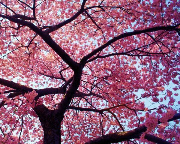 Google Image Result For Http Fineartamerica Com Images Medium Cherry Tree Mit Cherry Blossom Tree Cherry Blossom Images Blossom Trees