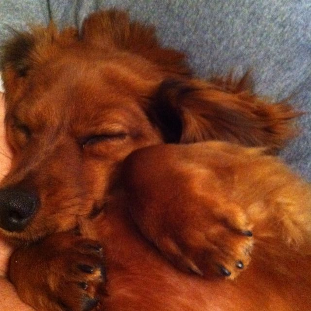 Long haired dachshund-  adorable, looks just like my Izzie