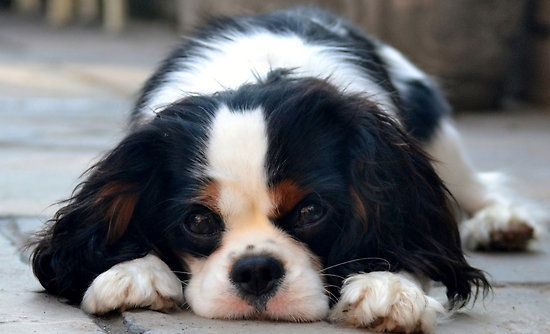 Tricolour Cavalier King Charles puppy by Victoriarj I want this dog so bad.