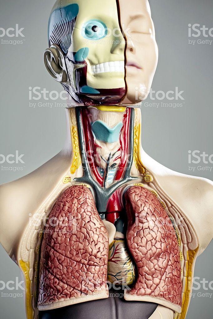 Human anatomy model   Pinterest   Anatomy models, Anatomy and Models