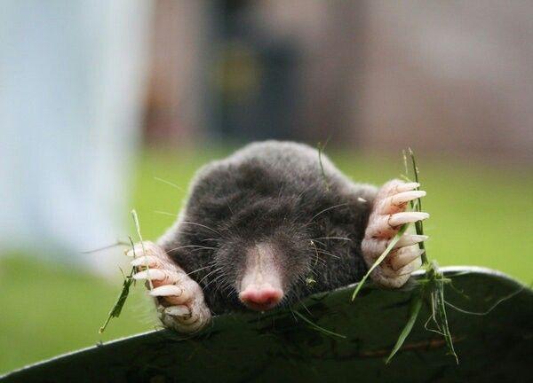 Cute little Mole~